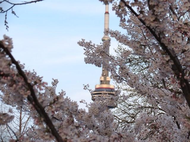 Trinity Bellwoods ParkCherry Blossom 2017