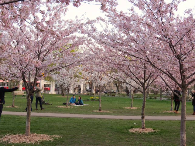 Trinity Bellwoods Park Cherry Blossoms