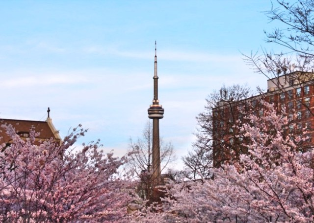 Trinity Bellwoods ParkCherry Blossoms Toronto