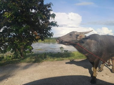 photos isan buffalo on road