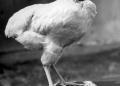 Mike, o frango que viveu mais de um ano sem cabeça