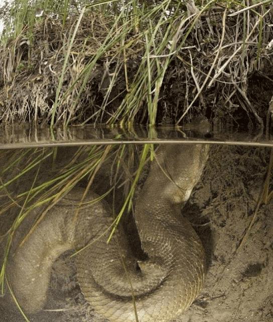 Cobra Sucuri gigante