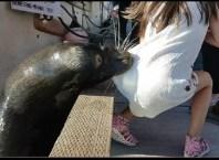 Leão-Marinho Puxa Menina Para o Mar