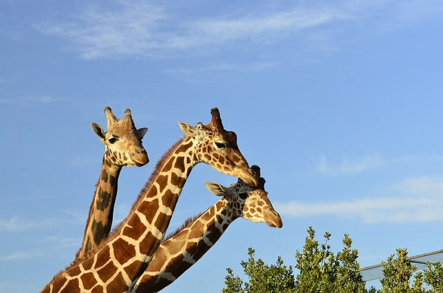 Espécies distintas de girafas