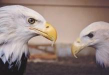 Águias - Hábitos e curiosidades das principais espécies