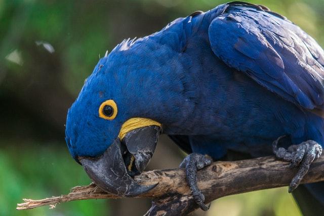 Curiosidades a respeito da arara-azul