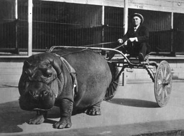 14 - hippo 1924