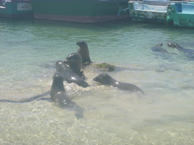 Lobos marinhos brincam ao lado de barcos no cais de Isabela.