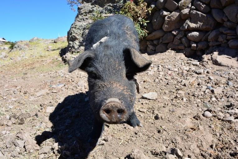 Porquinho da ilha de Amantani, Titicaca