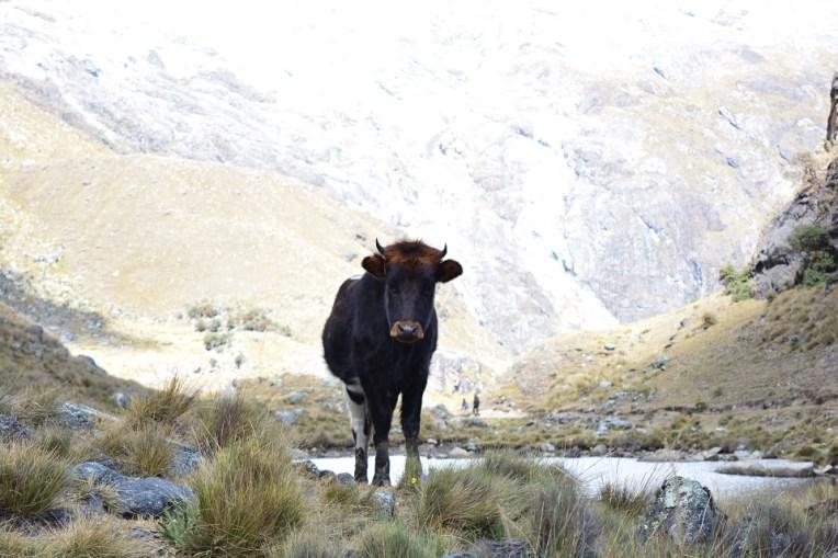 Bois e vacas te acompanharão durante todo o caminho.
