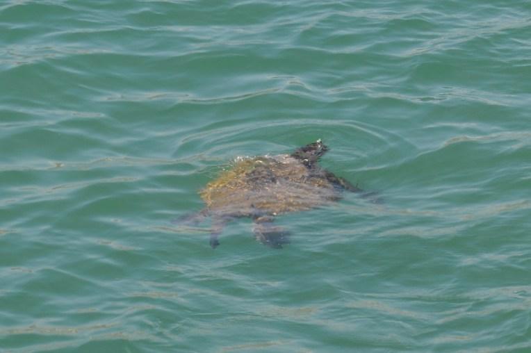 Tartaruga que avistamos no cais de Puerto Lopez