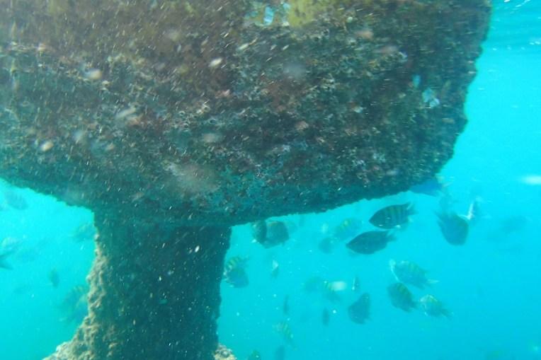 Coral se formando em uma boia, e alguns peixes ao seu redor.