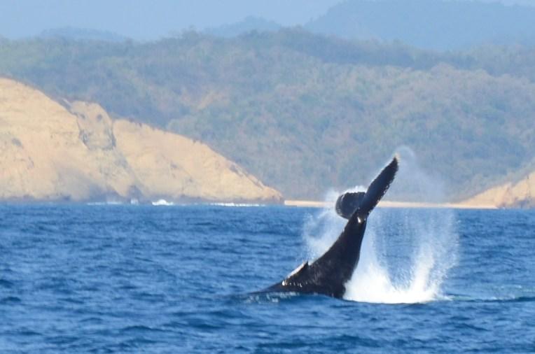 Baleia com a cauda para fora da água em Puerto Lopez, Equador