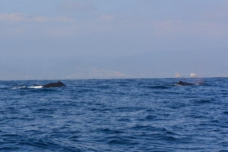 As costas de duas baleias em processo de acasalamento.