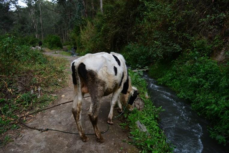 No caminho para Peguche, uma vaca!