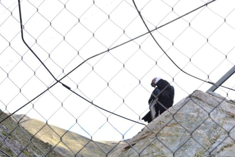 Condor dos Andes, na Venezuela
