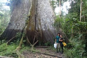 Árvore gigante na Amazônia peruana, em Iquitos
