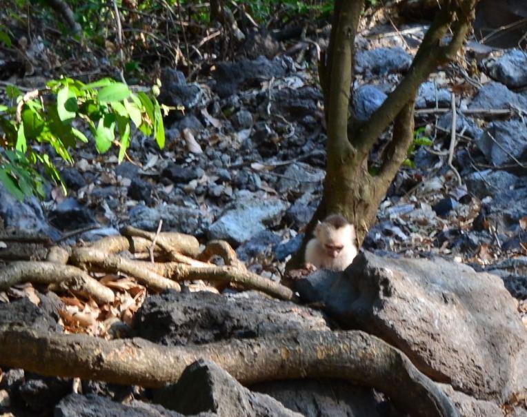 Macaco na Ilha de Omepete, Nicarágua