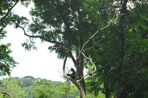 Macaco-aranha