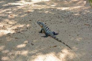 Iguana em Dos Ojos