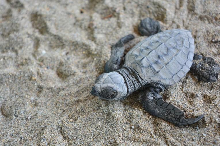 Tartaruga em Playa Azul, México