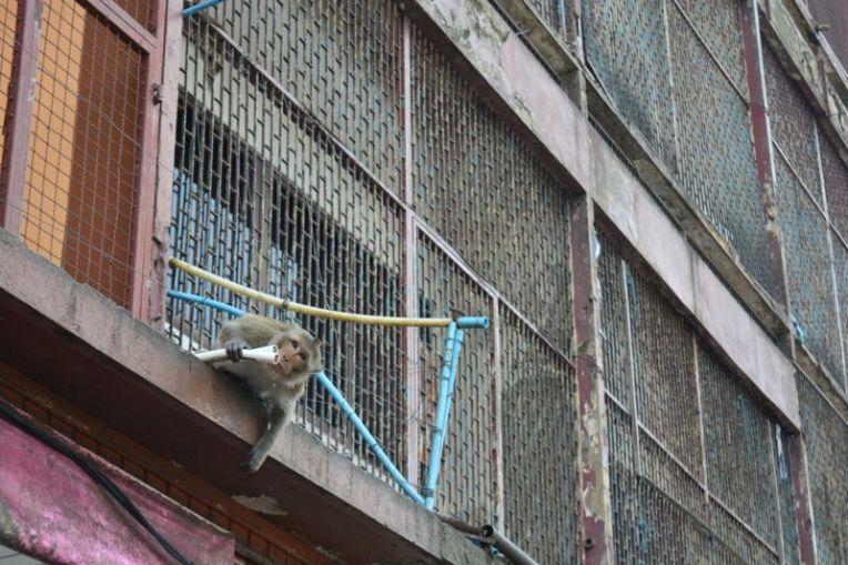 Macaco em Lop Buri