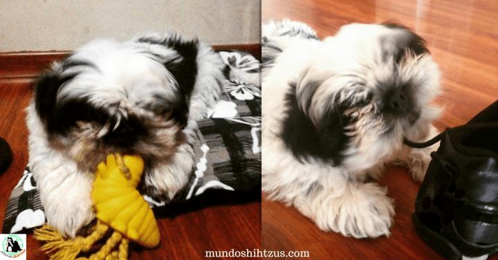 O que fazer para meu cachorro parar de roer