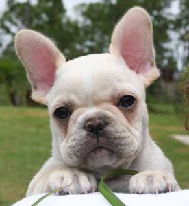 perrito-bulldog-frances-olx