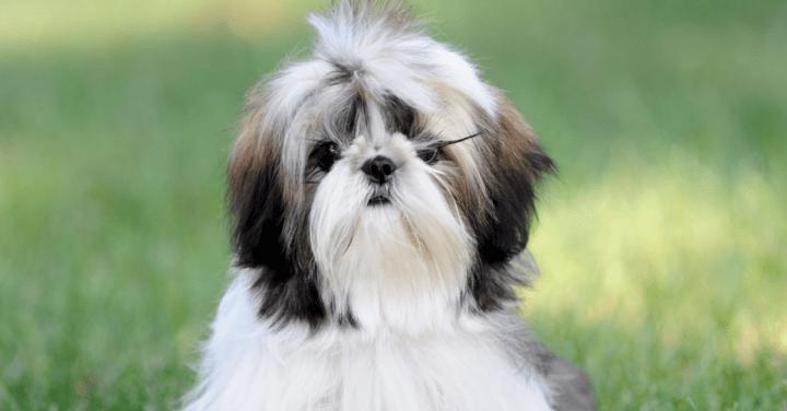 Prolapso do globo ocular em cães e gatos