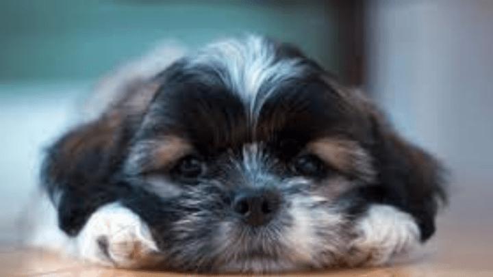 Sinais de alerta da depressão canina