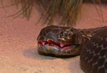 Top 10 cobras mais venenosas do mundo - Cobra Tigre