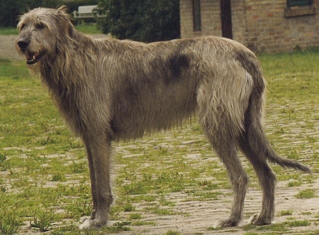 Raças de cães gigantes - Lébrel irlandês