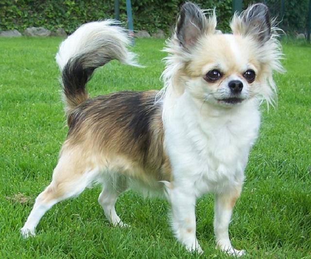 Top 10 raças de cães mais caras do mundo - Chihuahua