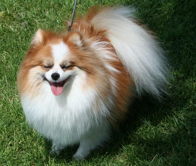 Top 10 raças de cães mais caras do mundo - Lulu da Pomerânia