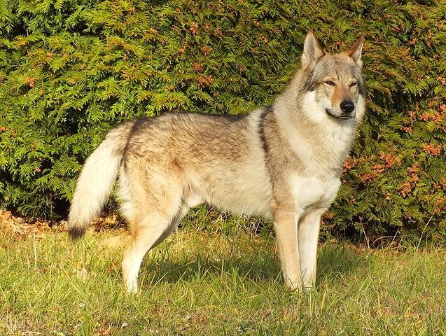 Top 10 raças de cães mais perigosas do mundo - Cão Lobo