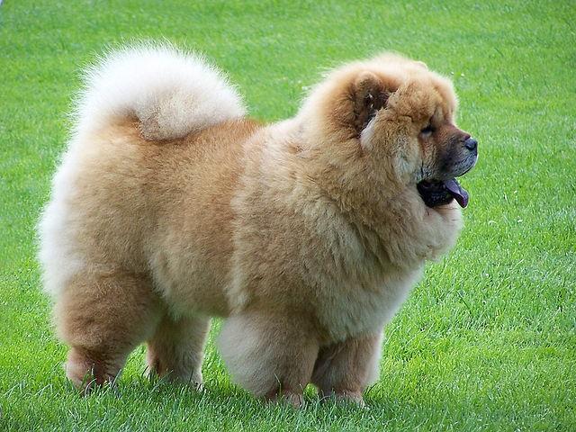 Top 10 raças de cães mais perigosas do mundo - Chow Chow