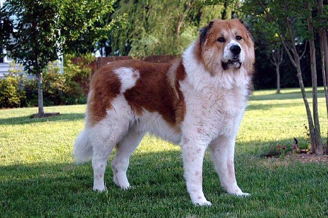 Top 10 raças de cães mais perigosas do mundo - Pastor Caucasiano