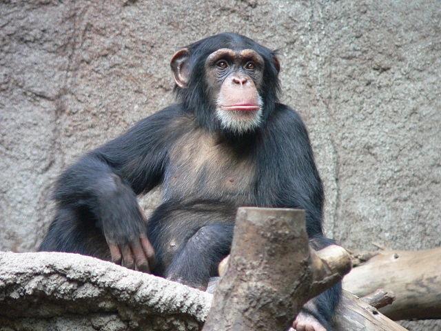 Top 10 animais mais inteligentes do mundo - Chimpanzé