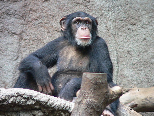 Top 10 animais mais inteligentes do mundo - Chimpanzé