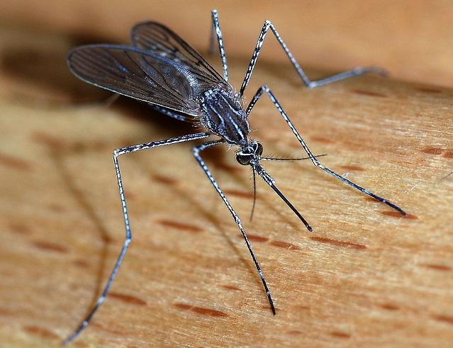 Top 10 animais mais perigosos do mundo - Mosquito