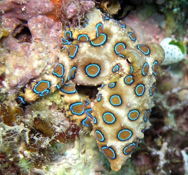 Top 10 animais mais perigosos do mundo - Polvo de Anéis Azuis
