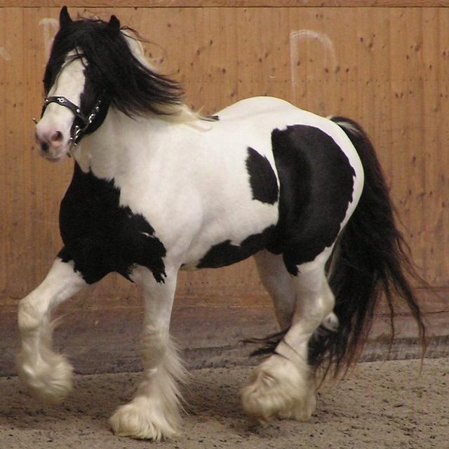 Top 10 raças de cavalos mais caras do mundo - Cavalo Cigano