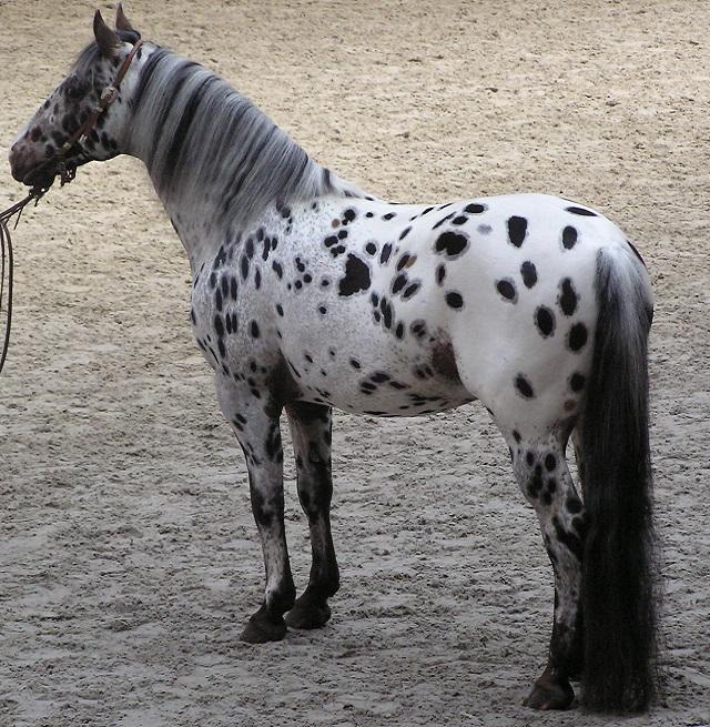 Top 10 raças de cavalos mais caras do mundo - Cavalo Appaloosa