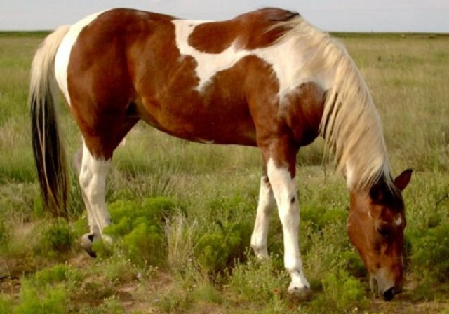 Top 10 raças de cavalos mais caras do mundo - Paint Horse