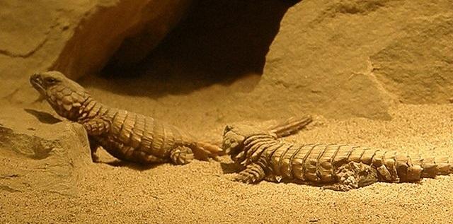 Top 10 animais que você não vai acreditar que existem - Lagarto Tatu Espinhoso