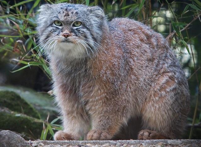 Top 10 raças de gatos únicas no mundo - Gato-de-Pallas