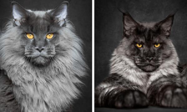 Top 10 espécies de gatos únicas no mundo - Maine Coon