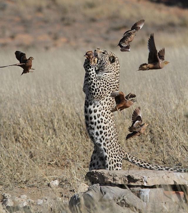 Animais Selvagens - Leopardo
