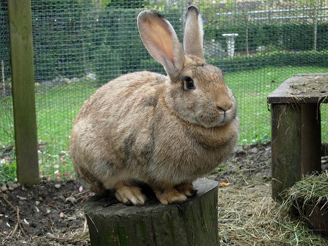 Curiosidades - coelhos são recordistas