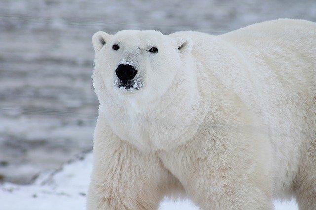 No Canadá está acapital mundial dos ursos polares